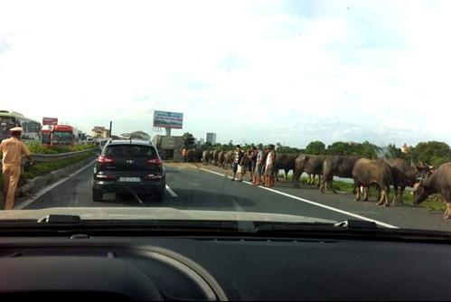 Đàn trâu lớn gây náo loạn cao tốc Pháp vân - Cầu giẽ sau vụ va chạm giao thông. Ảnh: Otofun.