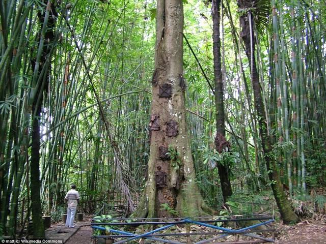 Khu vực hẻo lánh ở Tana Toraja - khu vực miền núi của miền nam Sulawesi, cách 186 dặm về phía bắc của thủ đô Makassar, Indonesia là nơi duy trìnghi lễ an táng trẻ emtrong mộ cây có từ xa xưa. Theo đó, trẻ em được chôn cất trong các thân cây tại một khu rừng.