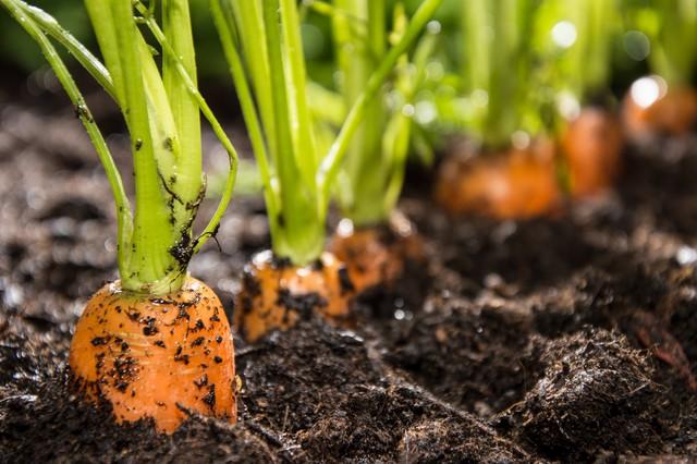 Khi cây cà rốt đã mọc cao 5-7cm bạn nên tỉa bớt cây xấu mọc chen chúc, chỉ giữ lại khoảng cách cây cách nhau 5-7cm là vừa. Khi cây cà rốt bắt đầu phát triển củ, dùng dụng cụ làm vườn vét đất ở rãnh luống phủ lên mặt luống sao cho lấp kín củ giúp cho củ không bị xanh đầu do bị tiếp xúc với ánh sáng.
