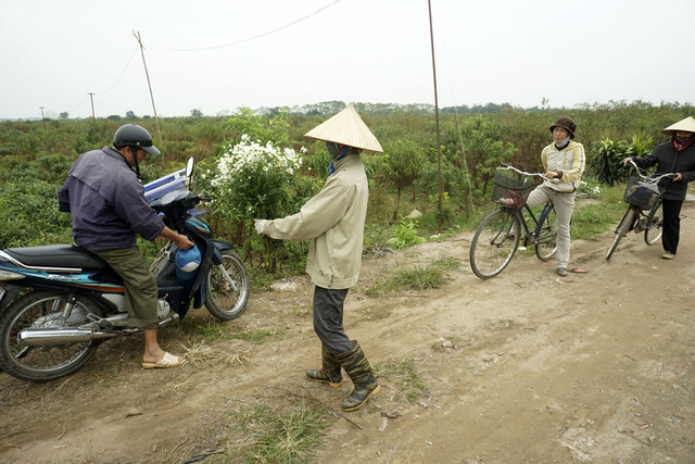 Những người trồng đào cắt bó hoa cúc họa mi nở muộn về nhà cắm sau buổi lao động.