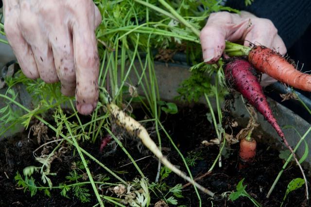 Sau khi trồng khoảng 100 ngày bạn thấy các dấu hiệu như các lá dưới chuyển màu vàng, các lá non ngừng sinh trưởng, đây chính là thời điểm hợp lý để bạn thu hoạch chúng. Lưu ý, bạn nên thu hoạch vào những ngày khô nắng, việc làm này sẽ giúp củ ngọt và ngon hơn.