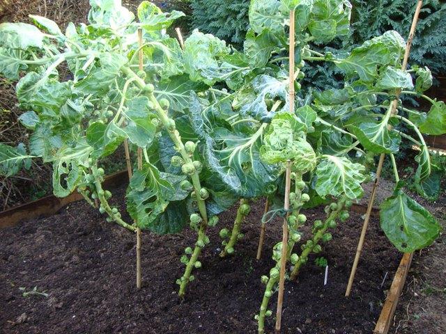 Bắp cải tí hon có họ cùng cây rau cải bắp nhưng có thể đạt độ cao từ 80-120 cm; mỗi cây sẽ cho thu hoạch từ 150-170 chiếc bắp cải mini.