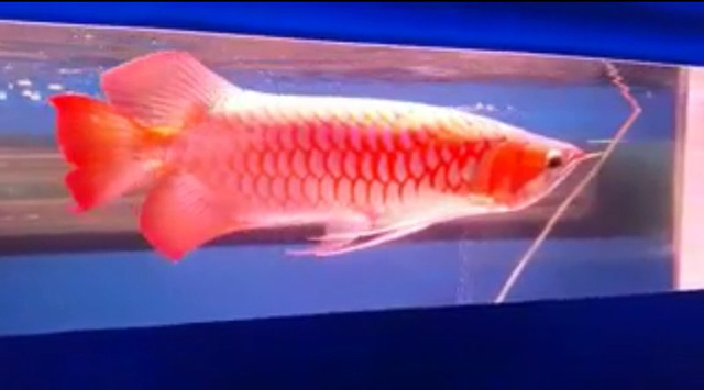 Cá rồng biến đổi về xương với hình dáng cực độc có giá lên tới 19.000 đô la Mỹ (Ảnh K.L)