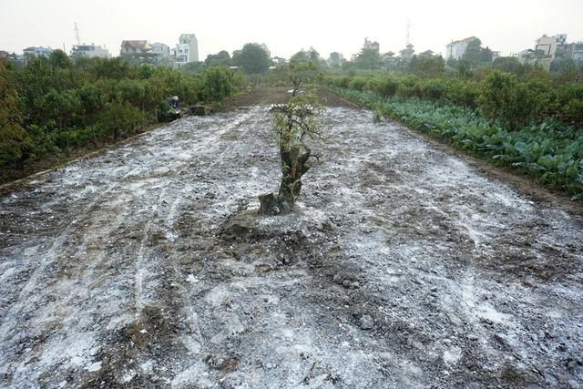 Một mảnh vườn đang được làm đất rồi rắc vôi bột để đất đỡ hăng, làm như vậy cây đào mới trồng sẽ phát triển tốt vào năm sau.