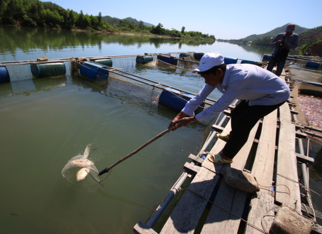 Mấy ngày nay, ông Sâm vẫn ra lồng vớt cá chết. Thiệt hại khoảng 800 triệu đồng. Ảnh Đức Hoàng