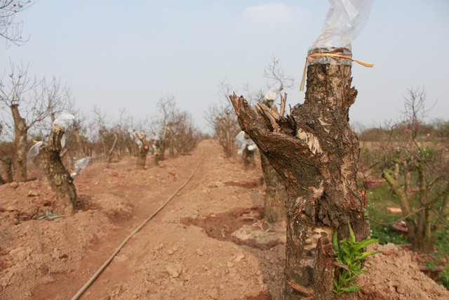 Phần nhiều gốc đào của vườn Nhật Tân vẫn trong giai đoạn tuốt lá. Ảnh:HP