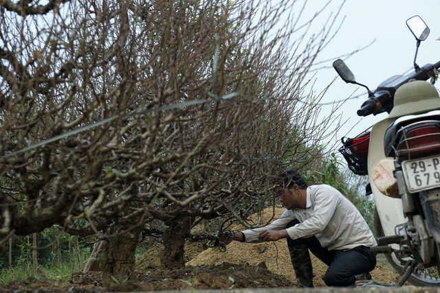 Một người trồng đào Nhật Tân đang chăm sóc những cây đào thế khá lớn, những cây đào loại này thường được các cơ quan, doanh nghiệp ưa thích và được khách hàng mua từ rất sớm.