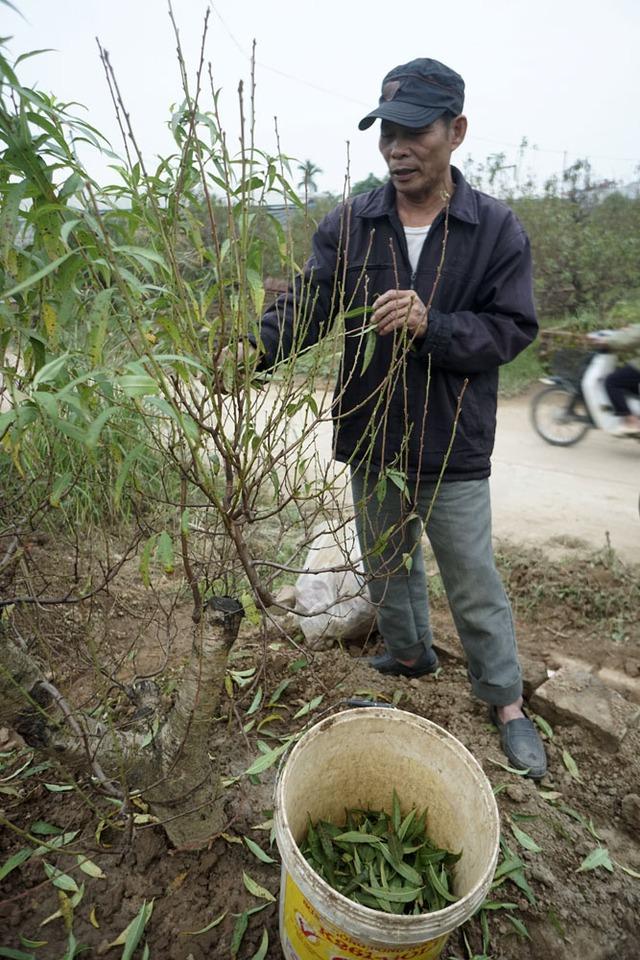 Bây giờ là thời điểm người Nhật Tân bắt đầu tuốt lá để cây ra hoa hoa. Lá đào được sau đó phải được dọn sạch tránh làm đắng đất. Trong ảnh là ông Đào Anh Hoạt - người Nhật Tân chuyên nghề trồng đào.