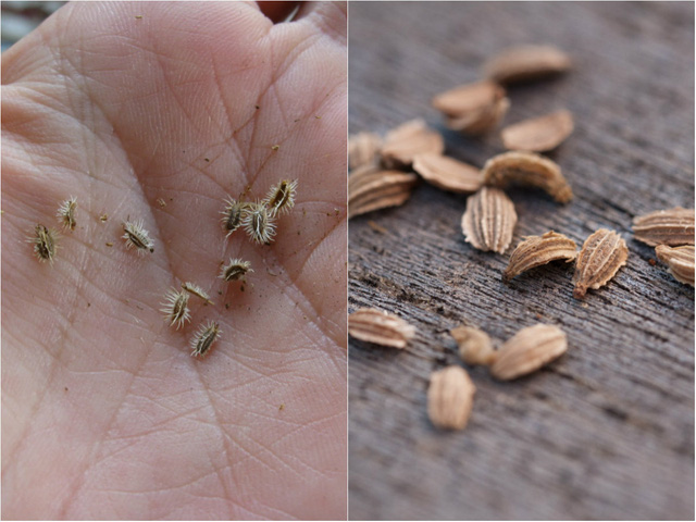 Hạt cà rốt khá cứng và khó thấm nước nên trước khi gieo hạt, bạn nên vò kỹ để chúng gãy bớt lông và trộn với đất mùn với tỷ lệ 1/1. Sau đó đem tưới nước và giữ ẩm trong khoảng 2-3 ngày trước khi đem gieo xuống đất.