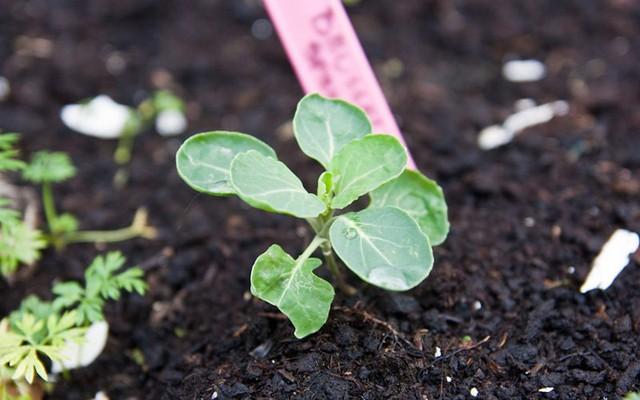 Ánh sáng và nhiệt độ: Bắp cải ưasáng, nhiệt độ thích hợp nhất từ 15-20 độ C.