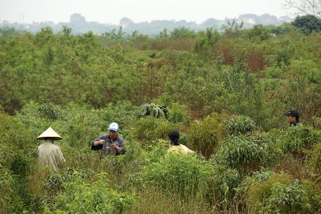 Những người trồng đào Nhật Tân đang tuốt lá cho vườn đào cành. Họ phân biệt cây có gốc lớn, hình thế, lâu năm thì gọi là đào cây. Còn những cây đào nhỏ không hình thế gọi là đào cành. Đào cành sẽ tuốt lá muộn hơn đào cây.