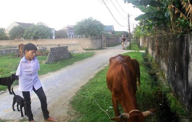 Nhẫn đi chăn bò giúp mẹ sau giờ học