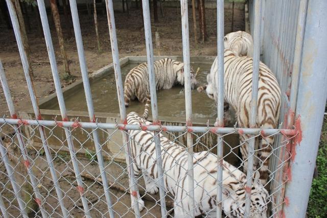 Hổ được nuôi trong khu du lịch trại Bò