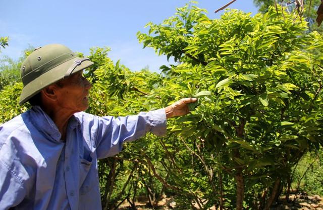 Thầy Am chăm sóc vườn cây Na giống của mình ngoài giờ giảng dạy