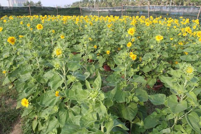 Những ngày này, vườn hoa hướng dương của ông Hà Văn Vũ (trú phường An Hải Tây, quận Sơn Trà, Đà Nẵng) đang rực rỡ khoe sắc...