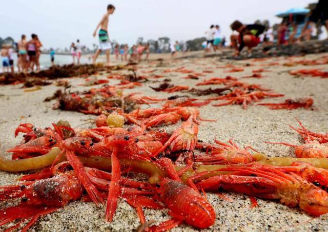 Loại cua này chủ yếu tập trung ở vùng biển Mexico, phía nam và miền trung bán đảo Baja.