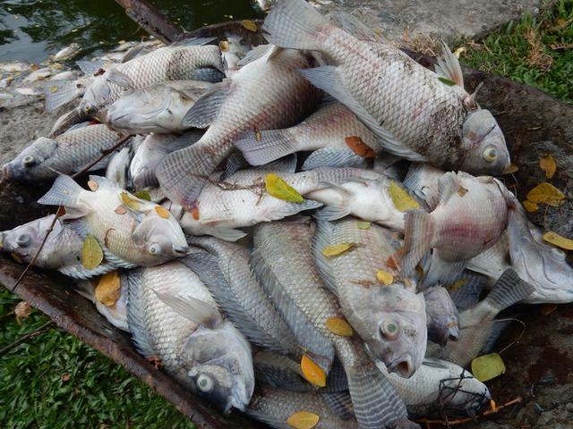 Cá chết được vớt lên để ở xe rùa...Ảnh: Đức Hoàng