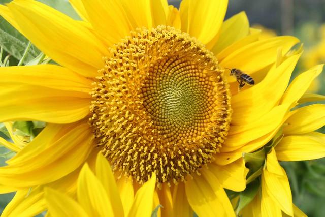 Chính vẻ đẹp rực rỡ của loài hoa hướng dương khiến ông Vũ yêu và đam mê. Ông bảo, Tết mà chơi loài hoa này thì sẽ gặp nhiều may mắn, vui vẻ trong năm...