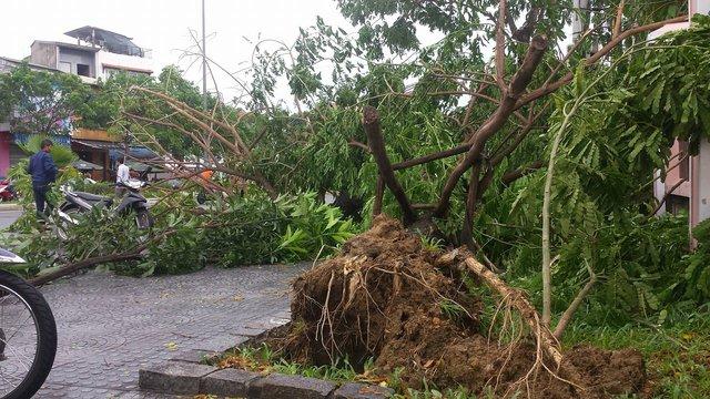 Nhiều cây xanh tại TP Huế bị đổ ngã do ảnh hưởng của bão số 4. Ảnh: Lê Chung