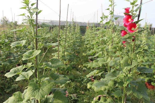 Mỗi cặp mãn đình hồng có giá từ 600-700 ngàn đồng