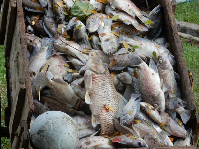 Nhiều con cá rất to, nặng tầm 2-5kg vẫn bị chết, nổi trắng hồ. Ảnh: Đức Hoàng