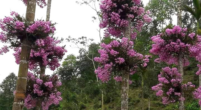 Loài lan này được ép lên 9 cây cau, mỗi cây có 2 bụi, có một số cây chỉ còn một bụi hoa. Cứ vào độ tháng 3, tháng 4 hàng năm hoa nở tưng bừng, sự kết hợp này tạo nên cảnh sắc vô cùng nên thơ.