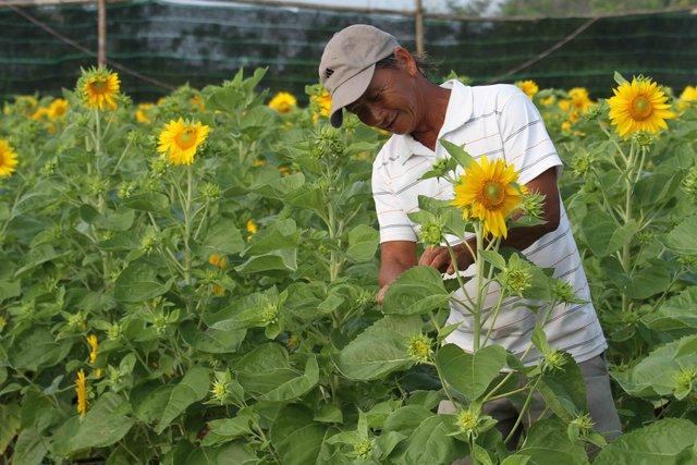 Theo ông Vũ, do thời tiết năm nay thuận lợi nên vườn hoa hướng dương gần 1.000 chậu của ông nở đúng vào dịp thị trường hoa Tết bắt đầu sôi động