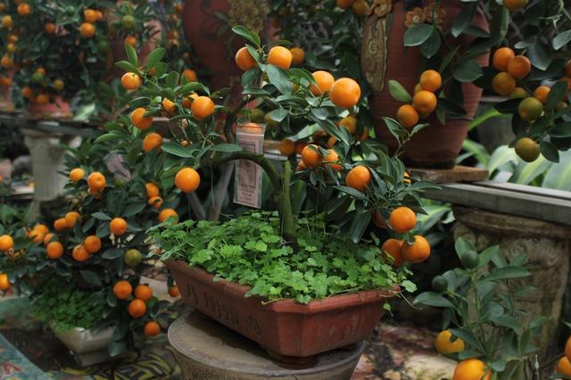 Những cây quất mini được trồng tự nhiên trong chậu, sau đó người chủ vườn khéo léo tạo thế cho cây. Cây có dáng đẹp, độc đáo được bán với giá rất cao. Chậu rẻ nhất cũng có giá khoảng 800 nghìn đồng, chậu đắt nhất có giá hơn 20 triệu đồng.