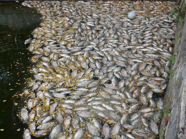 Một số góc hồ cá chết dày đặc, xếp từng lớp lên nhau, bốc lên mùi hôi thối. Ảnh: Đức Hoàng