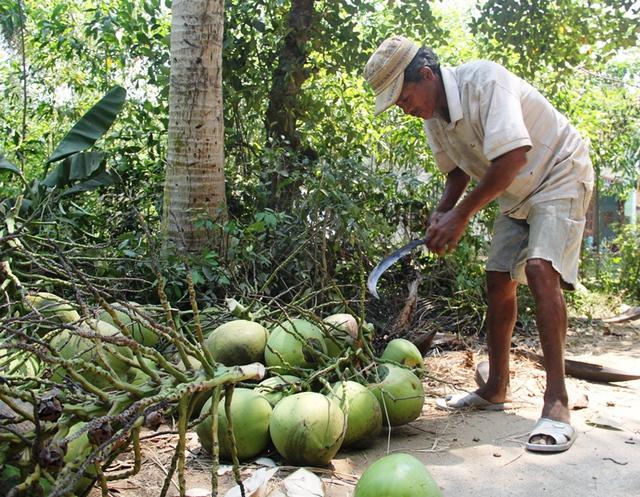Giá dừa ta (dừa Bình Định) mua tại vườn được 5.000-6.000 đồng/trái, tăng cao so với các năm