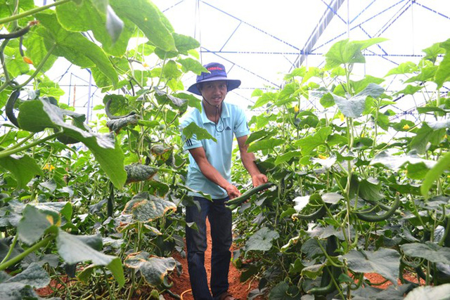 Ngoài ra, anh Nguyễn Định còn trồng thêm loại dưa leo giống mới dài tương đương trái mướp. Ảnh: Thạch Thảo.
