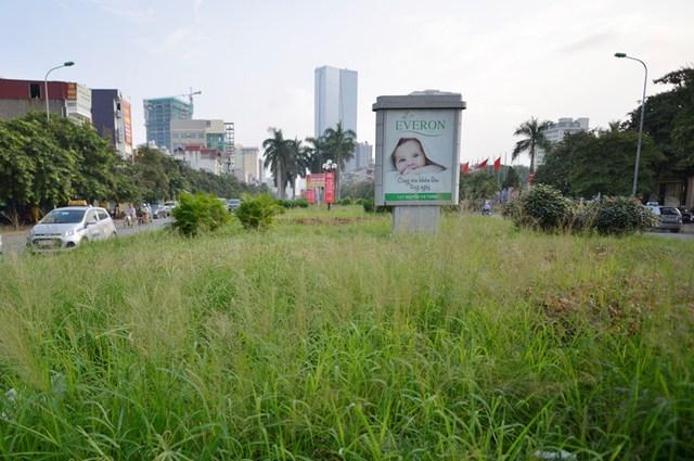 Thời gian gần đây, cỏ, hoa... trên đường Văn Cao - Liễu Giai (con đường được đánh giá là đẹp nhất Thủ đô) đã mọc um tùm.