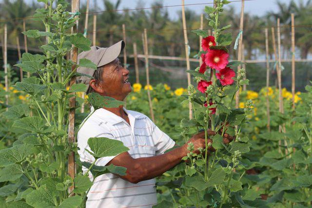 Ngoài hướng dương, ông Vũ còn trồng thêm khoảng 500 chậu hoa mãn đình hồng...