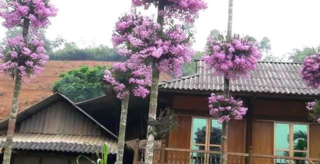 Hiện tại anh Quang cùng vợ con chuyển công tác lên huyện Than Uyên (Lai Châu). Với niềm say mê lan, anh Quang cũng mang theo rất nhiều hoa lên trồng.