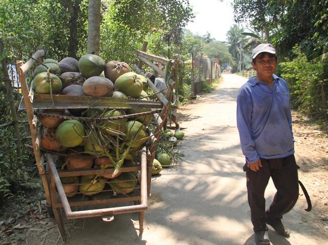Dừa Bình Định trái to, nhiều nước nhưng ít ngọt hơn dừa Bến Tre