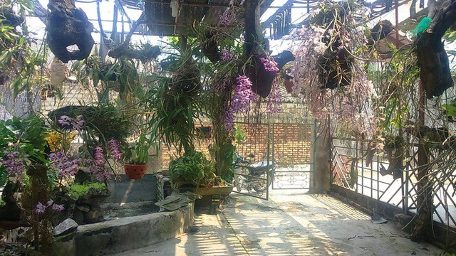 Đây là giò hoa hoàng thảo kèn nở vào mùa xuân. Giống này chỉ có ở một số tỉnh miền núi phía bắc, trong đó giò của anh Quang có giống ở Lai Châu cho hoa to và tím đậm nhất. Đây là giống lan tuyệt đẹp, quý hiếm, hoa nở lâu và rất thơm.