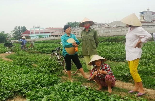 """Sau vụ """"dùng chổi quét rau"""" phát trên VTV3, rau xanh của bà con nông dân xã Vĩnh Thành, huyện Vĩnh Lộc (Thanh Hóa) khó tiêu thụ - Ảnh: Hà Đồng."""