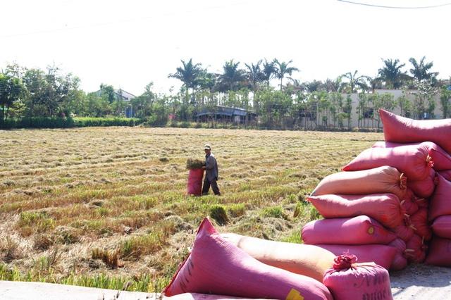 Ông Trần Văn Bảy, một nông dân ở xã Tân Thành, buộc phải gặt sớm để vớt được bao nhiêu hay bấy nhiêu, như cách nói thiệt thà của nhà nông. Theo ông Bảy, mùa này ông chỉ thu được 1/3 so với các mùa trước. Lúa này gặt sớm để dành nhà ăn, hổng có bán được - ông Bảy than.