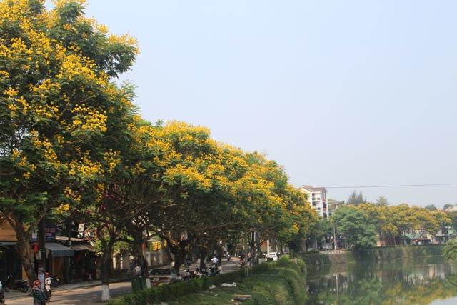 Những ngày giữa tháng 5, hoa phượng vàng lại nở rộ trên nhiều con đường của TP Huế. Ảnh: Lê Chung