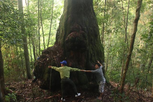 Một gốc cây Pơmu có tuổi đời ngàn năm tuổi, phải 6-7 người ôm mới xuể. Ảnh: Đ.H
