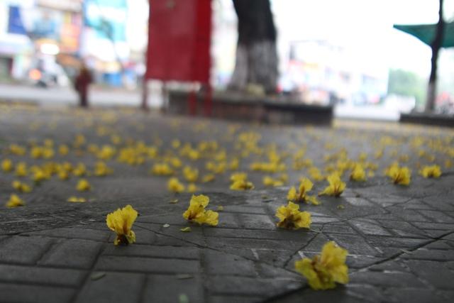 Hoa phượng rơi rực vàng trên lối đi...Ảnh: Tom Hoàng