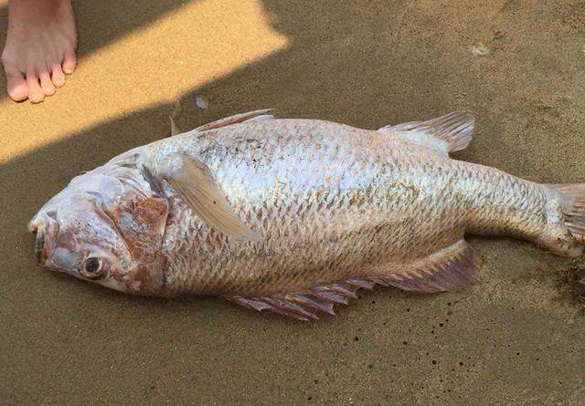 Cá biển chết trôi dạt vào bờ biển Đà Nẵng sáng ngày 27/4. Ảnh: CTV