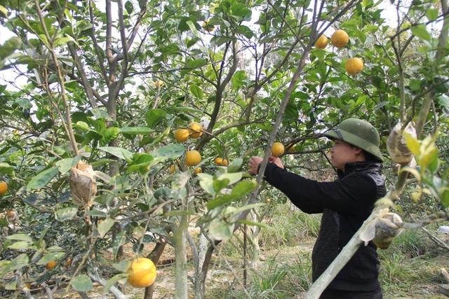 Anh Phúc kiểm tra kỹ lưỡng từng quả cam ngay trên cây mỗi ngày