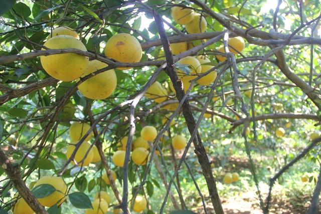Nhờ thời tiết đẹp, những cành cam trĩu quả nhưng vẫn không đủ để bán cho khách hàng