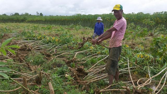 """Ông Nguyễn Văn Châu cùng nhiều hộ dân khác tại huyện Phong Điền đang """"gồng mình"""" thu hoạch sắn non bị hư thối sau ngập úng."""