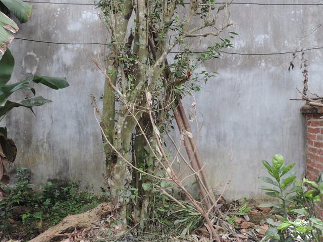 Gốc cây chè không có nhiều chồi như mấy năm trước. Ảnh: Ngọc Thi