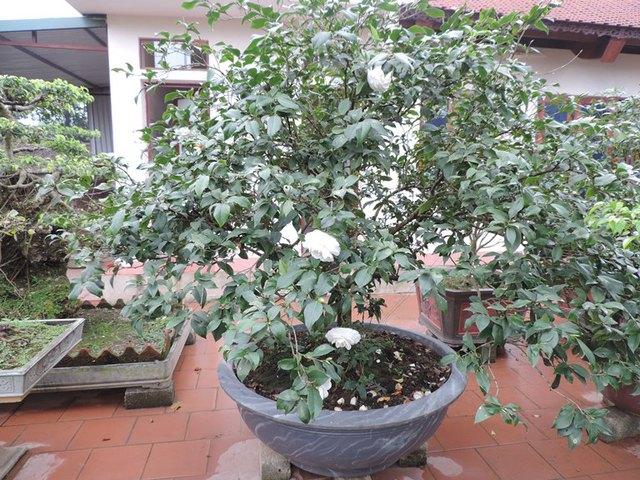 Hoa Trà bạch.