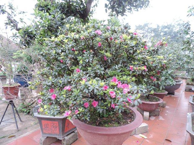 Hoa Đỗ Quyên, một những loại cây bán chạy tại vườn.
