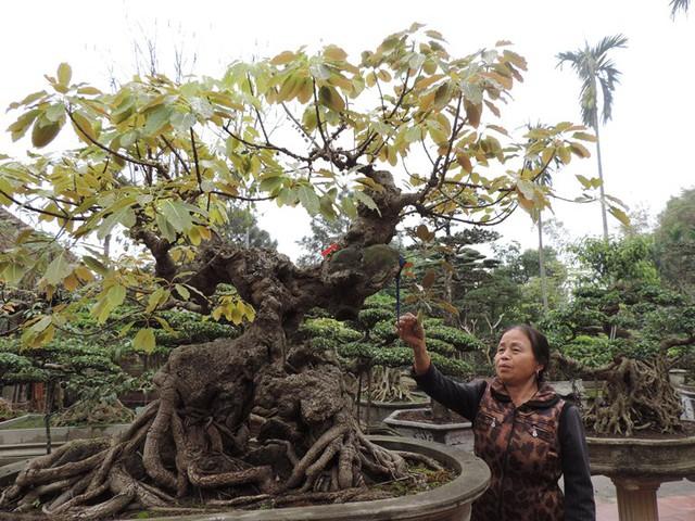Bà Nguyễn Thị Nụ (vợ ông Ngọ) giới thiệu cây Túc vừa được trưng bày tại Hoàng Thành Thăng Long.