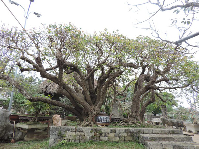 Cây Trâm này theo ông Ngọc cho biết thì  độc nhất vô nhị ở Việtía b Nam, giá bán tại vườn là 4 tỷ đồng.